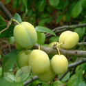 Gage Fruit Trees