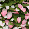 Kiwi Actinidia kolomikta (Kiwi Fruit Plants)
