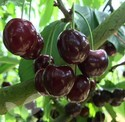 Cherry Fruit Trees