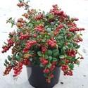 Lingonberry Fireballs