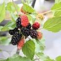 Morus Mojo Berry®