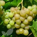 Phoenix (Grape Vines)