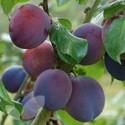 Marjorie's Seedling (AGM)