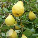 Quince Fruit Trees