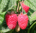 Cascades Delight (Summer Fruiting) (Raspberry Canes)