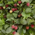 Raspberry Yummy (Raspberry Canes)