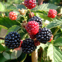 Sunberry Plants