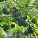 Blueberry Bluecrop (Blueberry & Cranberry)