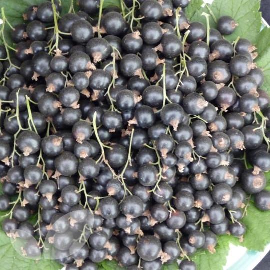 Blackcurrant Titania Half Standard Plants For Sale