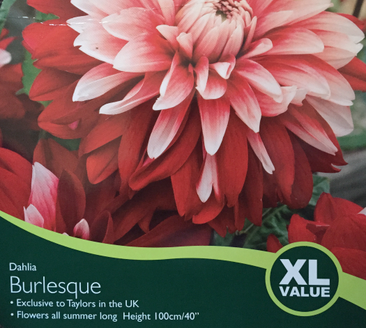 Tuber Dahlia Burlesque Bulbs For Sale Mail Order