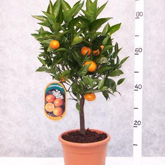 Calamondin Orange Fruit Trees For Sale
