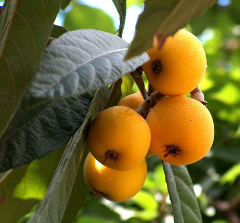 Picture Of A Loquat Fruit