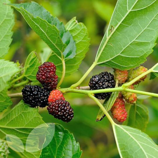 567931fa3e Mulberry Morus Nigra Trees For Sale Online