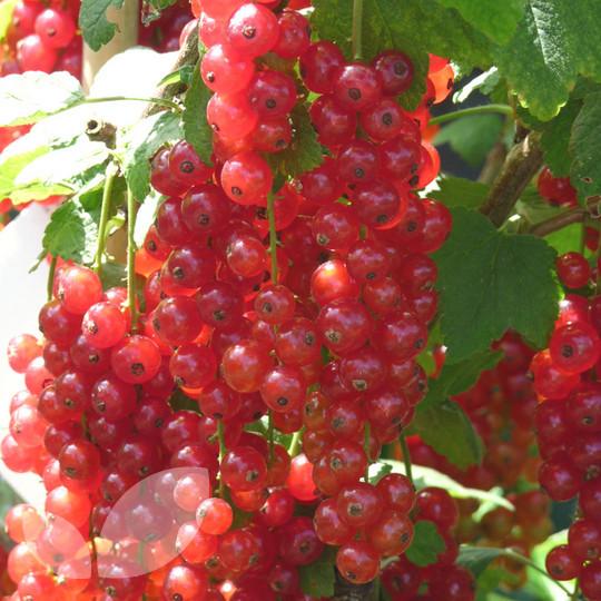 Redcurrant Jonkheer Van Tets Redcurrant Bushes For Sale