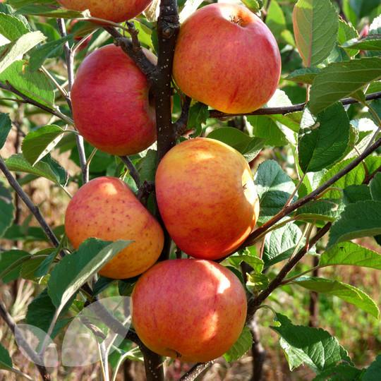 Sunset Apple Fruit Trees Fruit Trees From Blackmoor