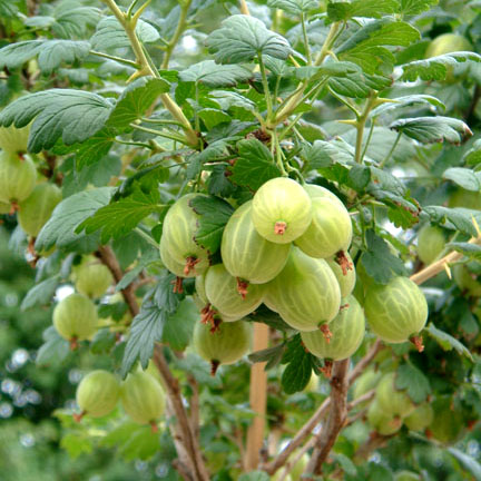 Gooseberry Invicta Gooseberry Bushes For Sale