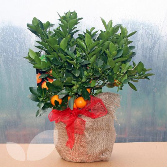 Calamondin Orange Tree Uk