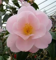 Camellia Congratulations Buy Online