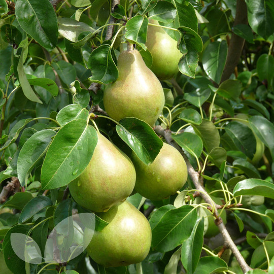 Doyenne du Comice Pear Trees | Buy Online from Blackmoor
