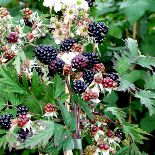 Blackberry Oregon Thornless Blackberry Plants For Sale
