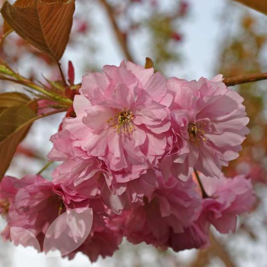 Prunus Kanzan Ornamental Trees For Sale