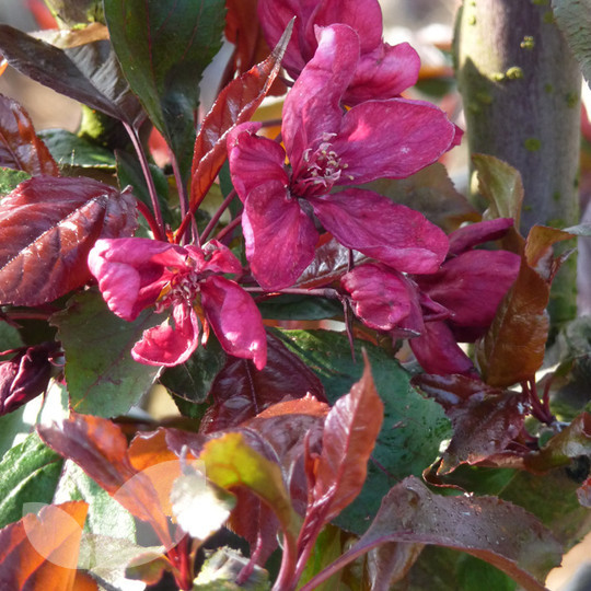 Malus Royalty Crab Apple Trees For Sale