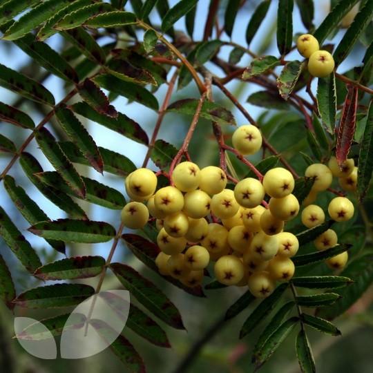 Sorbus Joseph Rock Ornamental Trees For Sale
