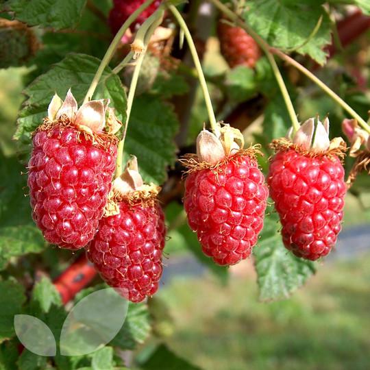 Tayberry Plants Buy Online From Blackmoor Nursery