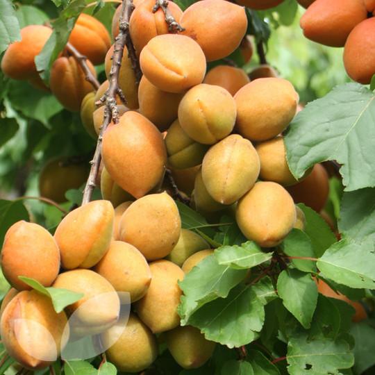 Petit Muscat Apricot Fruit Trees For Sale Blackmoor