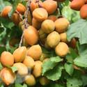 Apricot Petit Muscat® (Apricot Fruit Trees)
