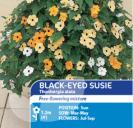 Black-Eyed Susie