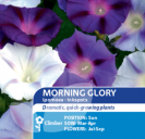 Morning Glory Ipomoea Inkspots