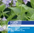 Nepeta Blue Panther