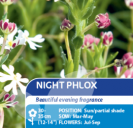 Night Phlox
