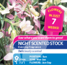 Night Scented Stock Evening Fragrance