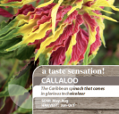 Callaloo (Amaranthus tricolor)