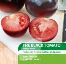 Tomato Black Indigo Rose