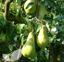 Pear Cordon Trees