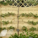 Apple 2 Tier Espalier (Cooking)