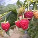Joan J (Autumn Fruiting)