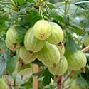 Gooseberry Collection Of 3 Bushes Saving £3.00