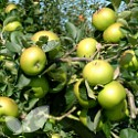 Bramley's Seedling (AGM)
