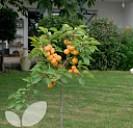 Apricot Compacta®