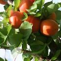 Apricot Flavourcot®