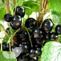 Currant Collection 3 Bushes Saving £3.40