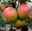 Cox's Orange Pippin