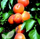 Apricot Early Moorpark (AGM)