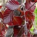 Fagus Sylvatica purpurea (Copper Beech)