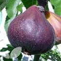 Chelsea Fig