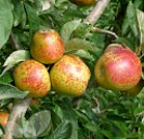 Rosemary Russet (AGM)